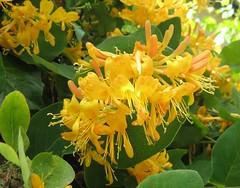 Lonicera tellmanniana.... hungarian lonc (Marinyu..) Tags: flowers flower macro fleur yellow petals flora bl