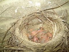 Baby birds (June 18 2009) (JRBooth) Tags: nature birds nest wildlife robins hatchlings