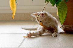 messin with a green plant (Jean-Philippe Caruana) Tags: cute cat kitten chat canonef50mmf18 mignon chaton eos400d
