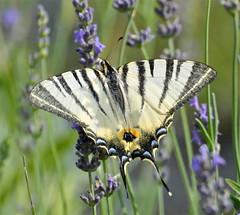 Podalirio (Iphiclides podalirius) (paolo-55) Tags: macro butterfly nikon farfalla d300 iphiclidespodalirius podalirio goldstaraward 70300vrzoomnikkor solofeflex