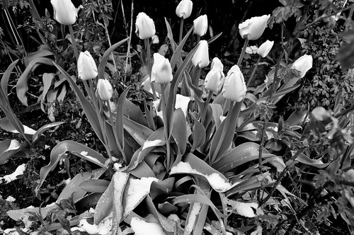 Tulips in the snow - april27,2010 009