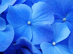 Have a glorious Monday!!  HBM! (Trinimusic2008 -blessings) Tags: flowers blue friends toronto ontario canada nature female fleurs catchycolors petals perfect flickr colours photographer awesome ngc blossoms award canadian diamond master to hydrangeas hbm flickrs awesomenature perfectpetals peaceaward 25faves123 flickrdiamond flickrdiamondphotographer canadianfemalephotographers heartawards brilliant~eye~jewels platinumheartawards may2010 100commentgroup masterphotographeraward happybluemonday trinimusic2008 floralfantasia abovealltherestandsimplythebest fullframeflowers perfectpetalssuperaward platinumpeaceaward naturescarousel naturesgoldencarousel newgoldenseal silvercarousel mygearandme mygearandmepremium mygearandmebronze mygearandmesilver mygearandmegold mygearandmeplatinum onlythebestofnature giftfromtriciaandrichard firstdayonthedeck
