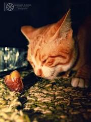 Cat and dates (abduleelah.s.klefah) Tags: cat canon eos dates    500d