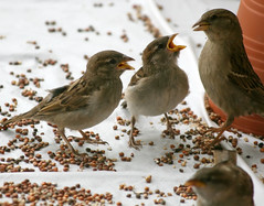 """Feed us!"" (wisely-chosen) Tags: wild birds birdseed babies eating mother may picnik 2010 housesparrows canonef70300mmf456isusmlens adobephotoshopcs4"