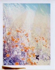they look painted on (~KIM~) Tags: flowers polaroid poppies expired iduv natureycrap rodenstockconversion