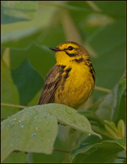 Prairie Warbler (5-photo series) (Roy Brown Photography) Tags: bird nature ecology birds pine georgia log nikon wildlife birding conservation american albany aba prairie discolor nikkor habitat society gos warbler wma association physiography manfrotto dougherty wimberley audubon lowepro d300 gilmer ellijay dendroica praw ornithological whitepath ebird physiographic roybrown d300s dendis roybrownphotography