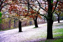 (Barbs--) Tags: park flowers trees toronto cherry spring high highpark blossoms cherryblossoms