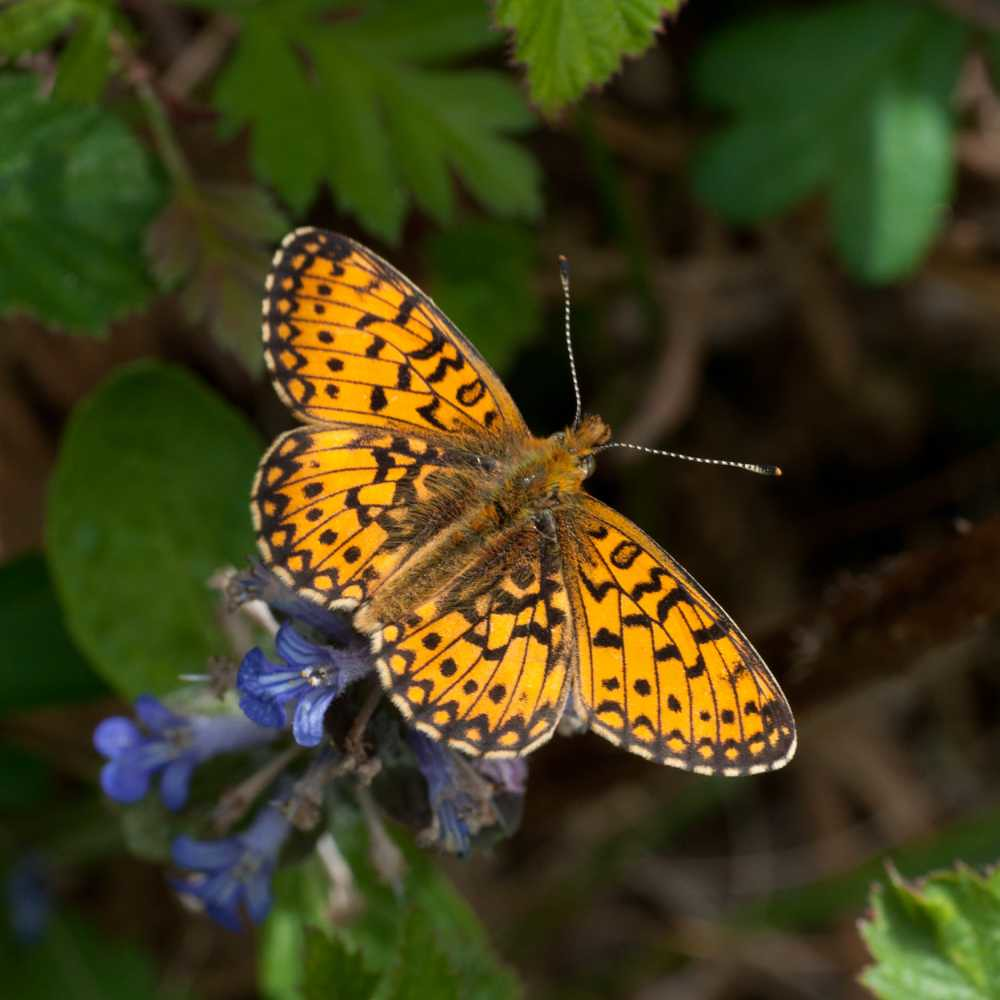 Small Pearl-bordered Fritillary, East Sussex © Colin Knight 5751