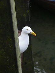 Common as Shit Seagull (cyberchrome) Tags: saved family deleted7 deleted9 cornwall deleted6 saved5 delete7 deleted2 saved2 deleted4 delete8 delete3 deleted10 deleted5 deleted saved3 saved4 looe saved6 saved7 saved8 saved9 may2011 p1160459ps