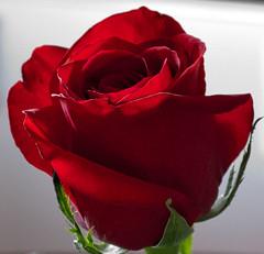 Cool rose close up. DSC_2788 (andrey.salikov) Tags: roses rose petals cool perfect pics coloured