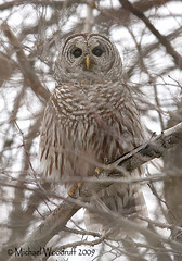 Barred Owl (Michael Woodruff) Tags: winter brown bird birds day small birding barred barredowl roost strix strixvaria owling