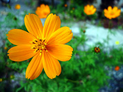 No Worries (Daniel Y. Go) Tags: flower macro nature lumix philippines panasonic christianity tagaytay lx3 lumixlx3 kristianongpinoy gettyimagesphilippinesq1
