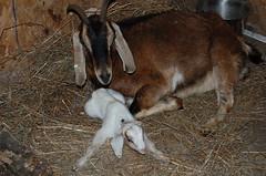 Apple and her doe kid