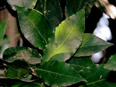 El laurel soleado (Salomé Bielsa) Tags: plant tree verde green planta hoja leaves hojas leaf cocina árbol plantae laurel lauraceae laurus laurusnobilis condimentoculinario