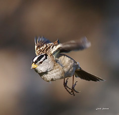 White-crowned Sparrow (jsutton8) Tags: bird flying hunting sparrow birdwatcher whitecrownedsparrow faunainmotion spiritofphotography flickrlovers slbflying