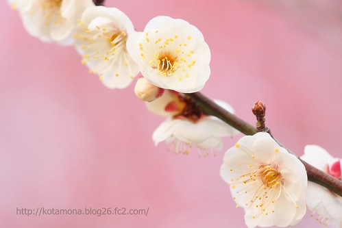 白梅も咲き始めました