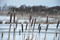 Winter Reeds (Elizabeth MacDonald (BIF1)) Tags: snow cold ice water nikon frost freezing route dslr reds cyclepath shivering d90 otw outofmymind imustbecrazy