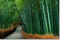 A Forest of Bamboo (Phijomo) Tags: nature japan outdoors nikon kyoto path bamboo arashiyama    tenryuji bambooforest  d80 nikond80  tenryubuddhisttemple tenryushiseizenji