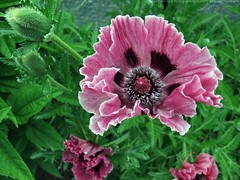PAPAVER orientale 'Tiffany'