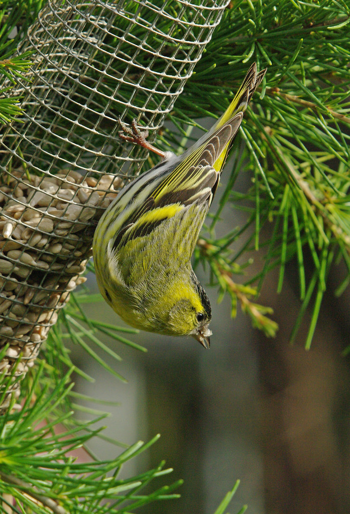 Acrobatic male siskin