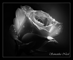 Happy Valentines Day (Samantha Nicol Art Photography) Tags: white black flower rose dark nikon day valentines romantic samantha waterdroplets nicol blackwhitephotos sammikins1976 samanthanicolartphotography