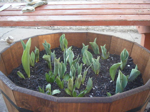 Tulips planted in wine barrel.