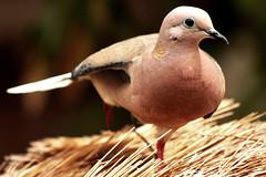 Eared Dove (Kusi Seminario) Tags: bird dove paloma ave pajaro eareddove zenaidaauriculata