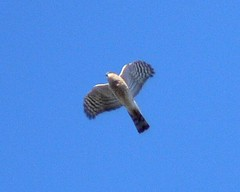 Sharp-shinned Hawk - 1