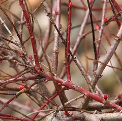 Salix Flamingo Flower Buds