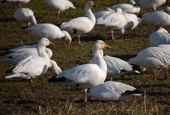 Snow Geese (mizmak) Tags: snowgeese skagitvalleywa