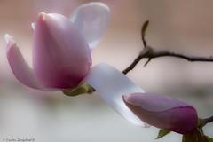 uwstroll0904-006 (idn8tiv) Tags: seattle uw floral canon washington places april wa stroll plantlife canonxsi mmmilikeit uwstroll0904