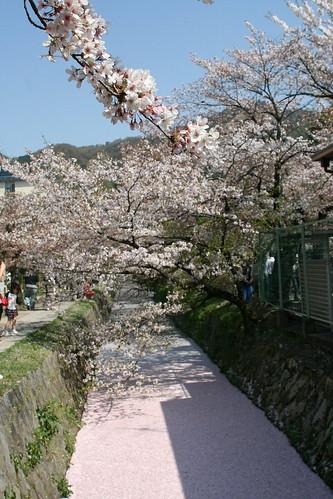 哲学の道と桜
