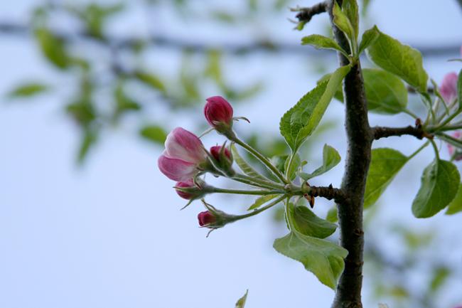 650apfelblüte nachmittags