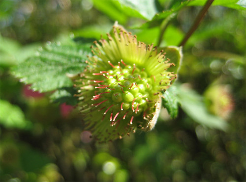 A very green salmonberry