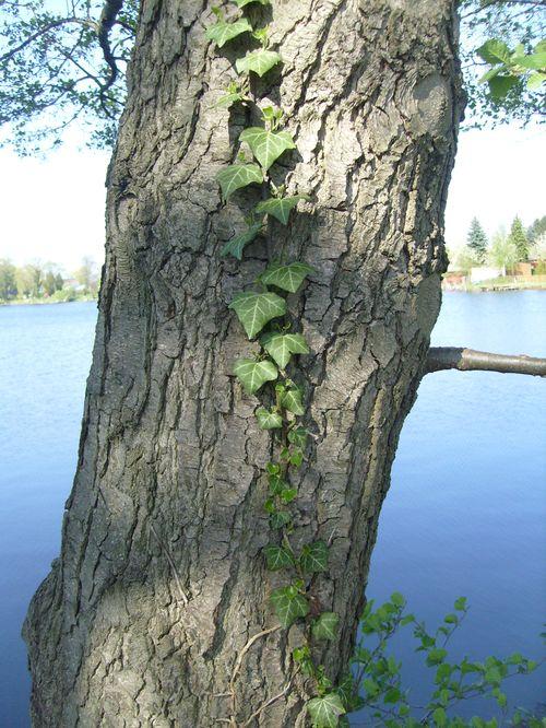 Der Efeu schlängelt sich am Baum entlang