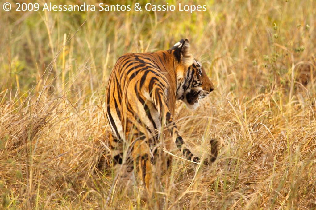 Chorbhera Tigress _MG_0783_F