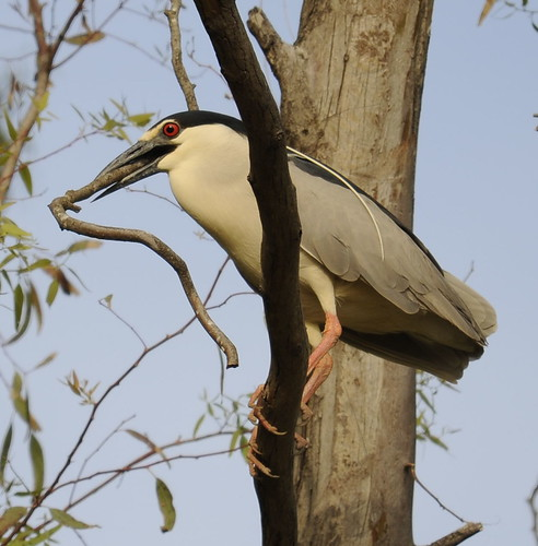 Black-crowned Night Heron with stick