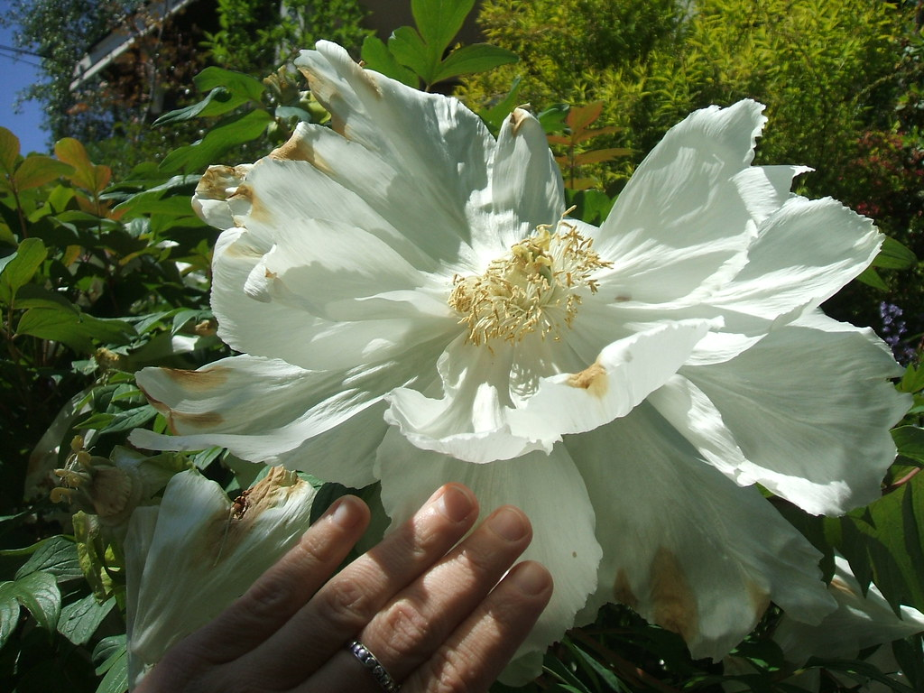 Big big flower (tree peony?) on way out