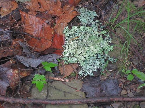 silvery moss