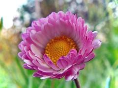 petite fleur (perplesso42) Tags: flowers fleur fiori petite blueribbonwinner simplyflowers petitefleur fioridicampo platinumphoto awesomeblossoms