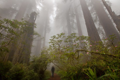 Out for a Stroll (Jesse Estes) Tags: fog trail redwoods redwoodnationalpark 1635 rhodies jesseestesphotography