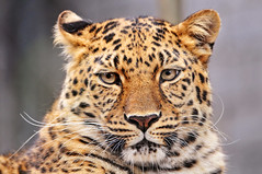 I'm beautiful and I know it! (Tambako the Jaguar) Tags: wild walter portrait orange cute beautiful face cat zoo switzerland big eyes nikon feline looking head kitty fluffy whiskers explore leopard hero winner rosettes starring gossau felid d300 panthera pantherapardus pardus herowinner ultraherowinner
