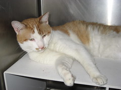 Adopt an Orange County Shelter (Virginia) cat