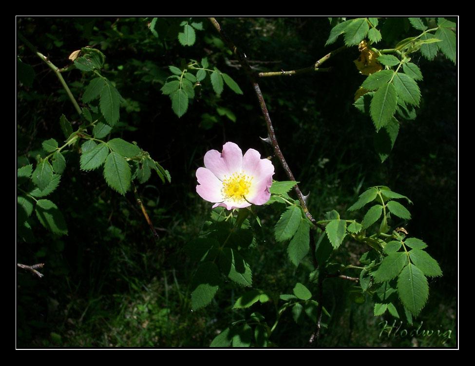 Flor de rosal silvestre