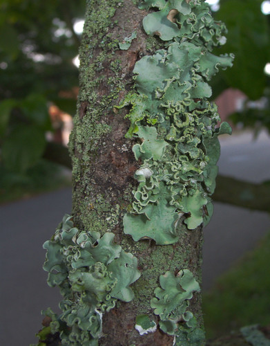 Lichens on Dogwood