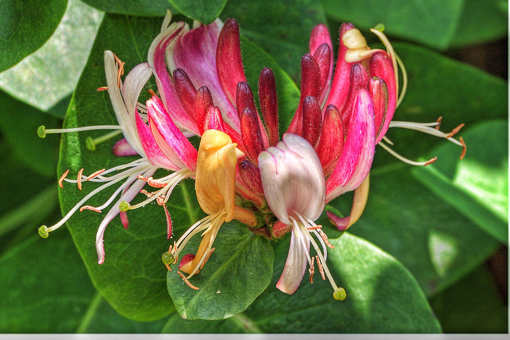 Honeysuckle HDR Macro Shot