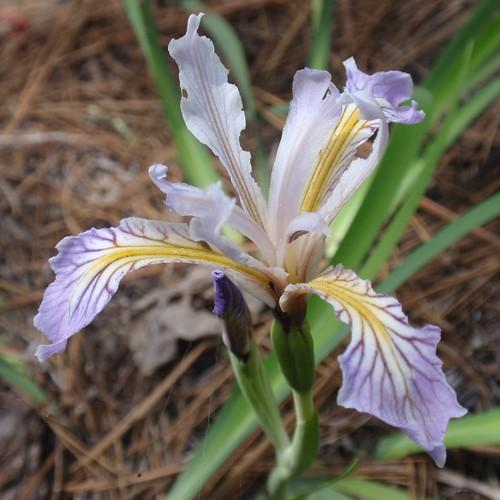 Hartweg's Iris 02