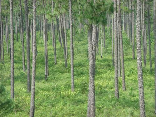 Pines...