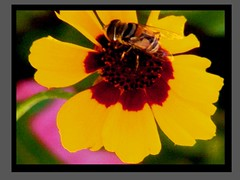 Nature Enjoying Nature (phil_sidenstricker) Tags: flower macro nature framed bee textured treated dscf3417 fujfilmfinepixs5700 awardtree florenceazusa ~maxfudge~