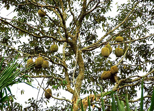 Durians on Tree